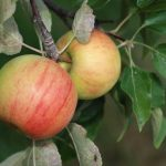 Apples on a tree at Big Stone Apple Ranch