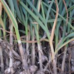 A beautiful garlic harvest